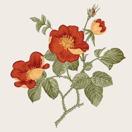 Rose hip. Wild rose. Botanical vector illustration.