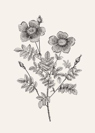 Rose hip. Wild rose. Rosa pimpinellifolia flore variegato. Botanical floral vector illustration. Black and white
