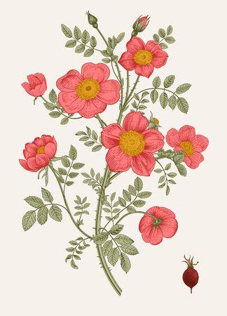 Rose hip vector illustration.