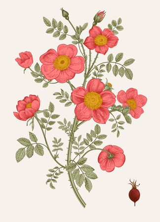 Rose hip vector illustration.