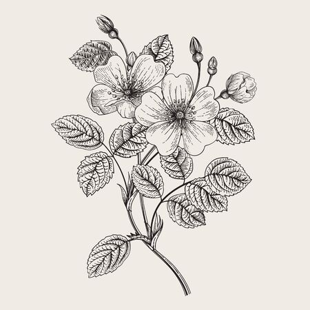 Rose hip. Wild rose. Botanical vector illustration. Black and white    イラスト・ベクター素材