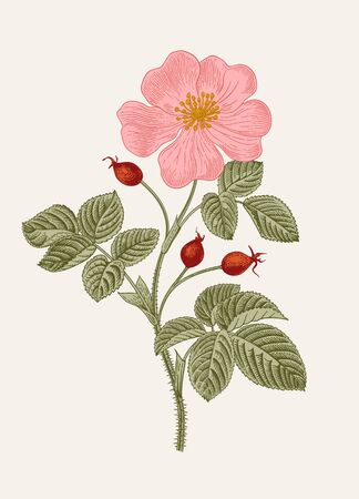 Rose hip. Wild rose. Botanical floral vector illustration.    イラスト・ベクター素材
