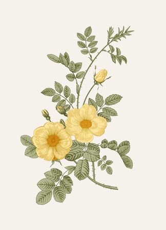 Rose hip. Wild yellow rose. Botanical floral vector illustration.    イラスト・ベクター素材