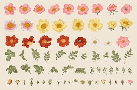 Wild roses. Independent floral elements. Flowers, leaves, buds. Botanical vector illustration.