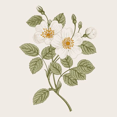 Rose hip. Wild white rose. Botanical vector illustration.