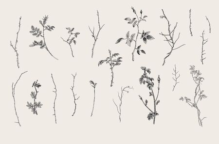 Wild roses. Floral elements. Botanical vector illustration. Twigs, sticks. Black and white  イラスト・ベクター素材