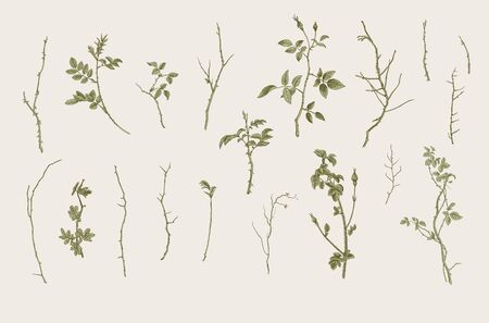 Wild roses. Floral elements. Botanical vector illustration. Twigs, sticks