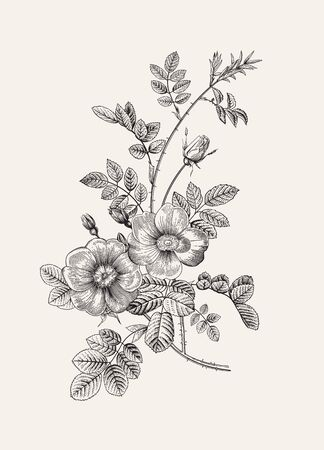 Rose hip. Wild rose. Botanical floral vector illustration. Black and white Vettoriali