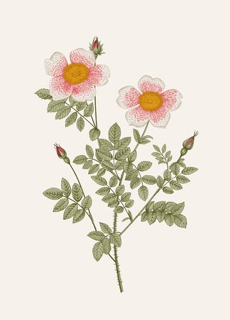 Rose hip. Wild rose. Botanical floral vector illustration.