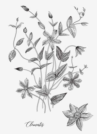 Vintage vector botanical illustration. Convolvulus arvensis. Black and white