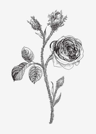 Vintage vector botanical illustration. Moss Province Rose. Black and white