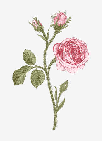 Vintage vector botanical illustration. Moss Province Rose.