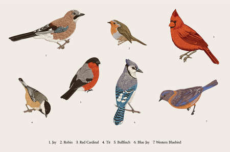 Winter Birds. Set. Tit, Robin, Jay, Blue jay, Bullfinch, Bluebird, Red cardinal. Vector vintage illustration. Colorful  イラスト・ベクター素材