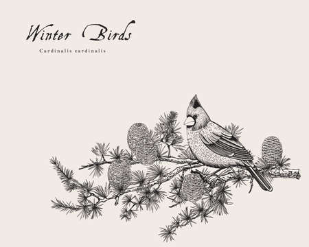 Vintage vector card. Winter birds. Bullfinch is on a branch of yew berry  イラスト・ベクター素材