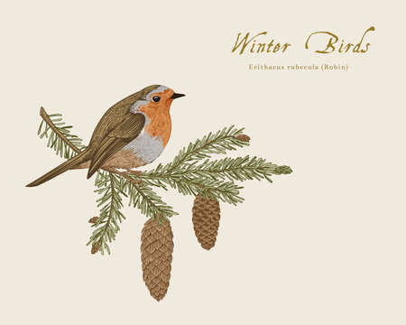 Vintage vector card. Winter birds. Jay is on a branch of pine tree