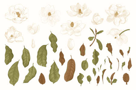 Magnolia grandiflora. Vector vintage botanical illustration. Set