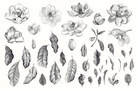 Magnolia grandiflora. Vector vintage botanical illustration. Set. Black and white