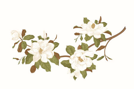 Magnolia grandiflora. Vector vintage botanical illustration  イラスト・ベクター素材