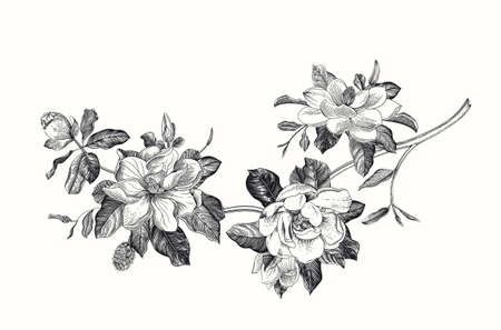 Magnolia grandiflora. Vector vintage botanical illustration. Black and white