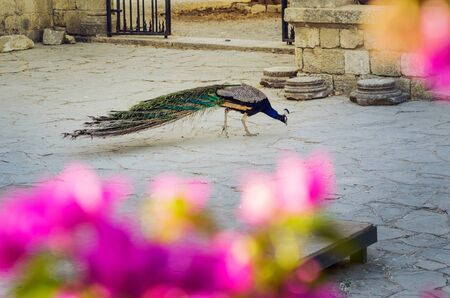 A peacock in the courtyard of a medieval monastery in Filerimos, Rhodes, Greece