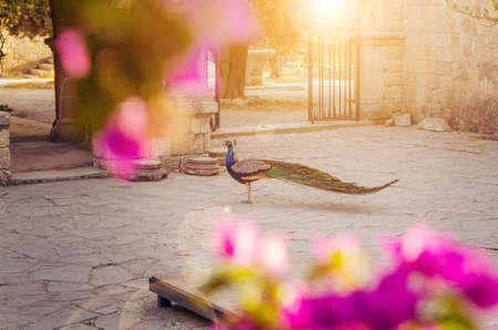 A beautiful peacock in a medieval monastery courtyard in the evening sun light.