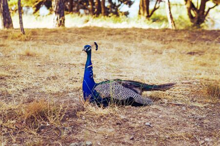 A beautiful blue peacock sitting on a dry grass