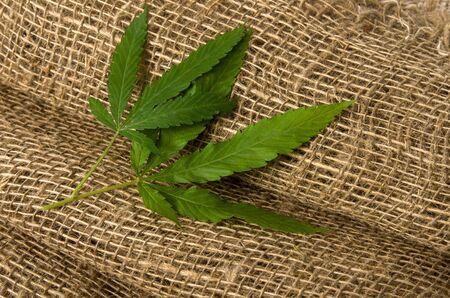 Hemp sativa leaf on rough textile rustic natural fabric as texture or nature background with copy space
