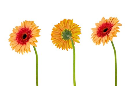 Three orange gerbera daisy flower  on  stem isolated on white background with clipping path Stock fotó