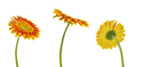 Isolated gerbera. Three colorful beautiful gerbera flower isolated on white background with clipping path