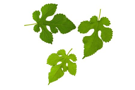 Mulberry green fresh leaf isolated on white background, three flat leaf as part of  plant element or clipart for design