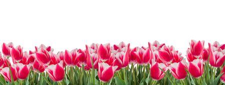 Tulpen roze en witte bloemen met groene bladeren geïsoleerd op een witte achtergrond. Horizontale kopie ruimte. Panoramisch formaat