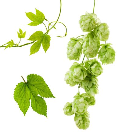 Hops isolated. Green fresh leaf, stem and hop cone bunch isolated on white background