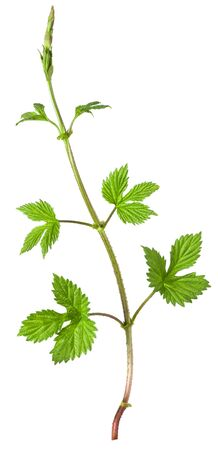 Hop green growing branch with leaves isolated on white background Stock Photo
