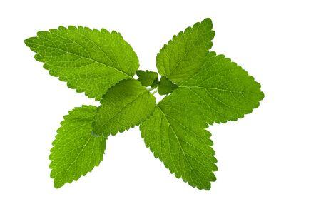 Zitronenminze oder Melisse grüne Blätter auf weißem Hintergrund, Nahaufnahme