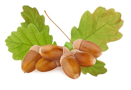 Acorn isolated. Small group of ripe brown acorns and green oak tree leaves cut out and isolated on white background