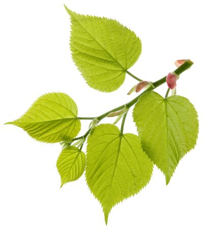 Linden tree fresh branch with green leaves isolated on white background Stock Photo