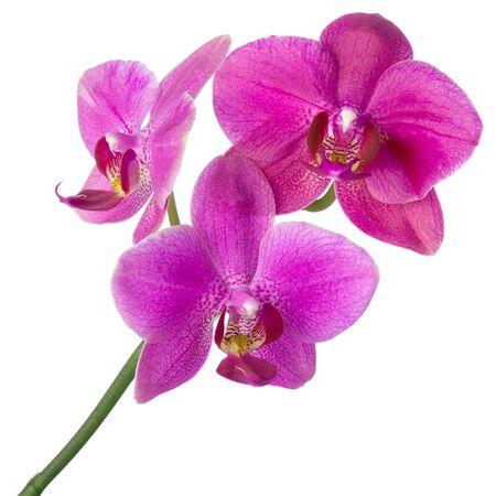 Fiore di orchidea viola sullo stelo isolato su sfondo bianco, design per SPA o concetto naturale tropicale Archivio Fotografico