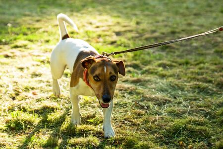 Dog breed Jack Russell Terrier running on green grass, close-up
