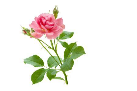Rosa Rosenblüte mit Knospen und grünen Blättern auf weißem Hintergrund