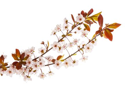 Spring plum or  cherry branch in bloom with pink flowers and red leaves isolated on white background