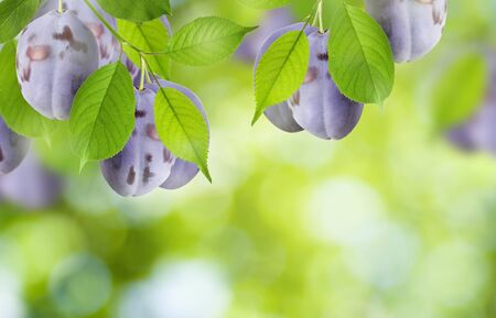 Beautiful summer nature background. Plum tree ripe juicy fruit on branch with green leaves