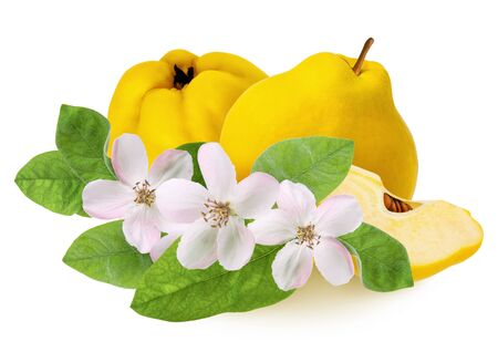Quince fruit isolated. Whole ripe raw yellow quince and lobule with flowers and green leaves isolated on white background as detail for design package