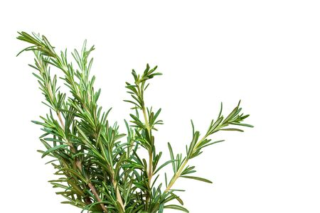 Fresh rosemary branch isolated on white background
