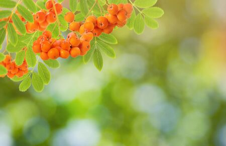 Natural background of Rowan berry and leaves, Sunny nature and blurred backdrop with bokeh. Seasonal concept with copy space Stock fotó