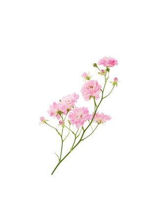 Bush rose branch with blooming pink flowers on stem isolated on white background with clipping path Stock fotó