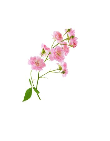 Small pink rose flowers on branch isolated on white background with clipping path Stock fotó