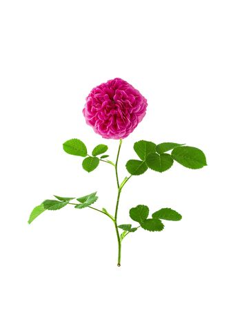 Gallic bright pink rose on stem with leaves isolated on white background