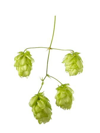Isolated hop cones with plant stem on white background, close-up