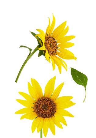 Sunflower isolated. Two bright yellow sunflower flower isolated on white background with green leaf