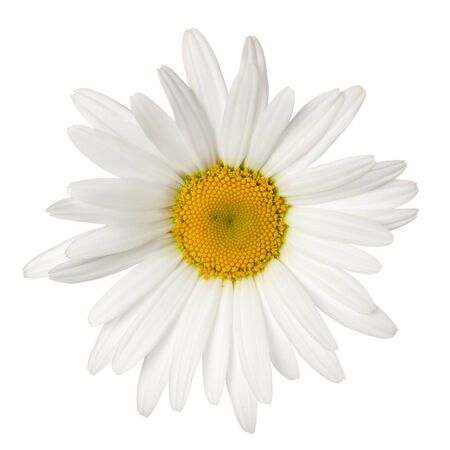 Daisy single flower head with yellow center isolated on white background